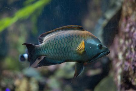 wrasse: Slingjaw wrasse (Epibulus insidiator). Marine fish.