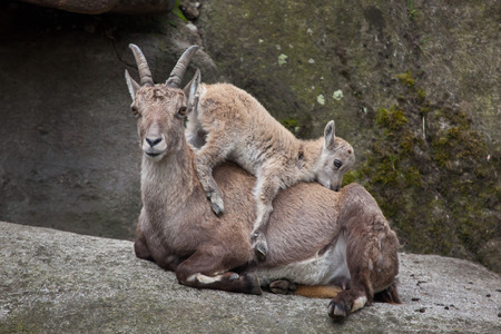 Alpine ibex (Capra ibex ibex), also known as the steinbock or bouquetin. Ibex kid playing with its mother.