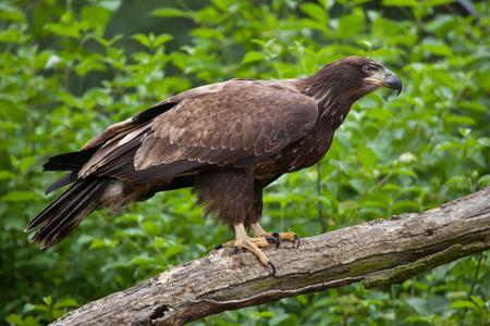Female bald eagle (Haliaeetus leucocephalus). Wildlife animal. Stock Photo