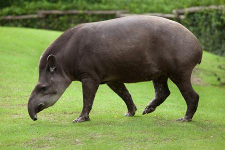 South American tapir (Tapirus terrestris), also known as the Brazilian tapir. 스톡 콘텐츠