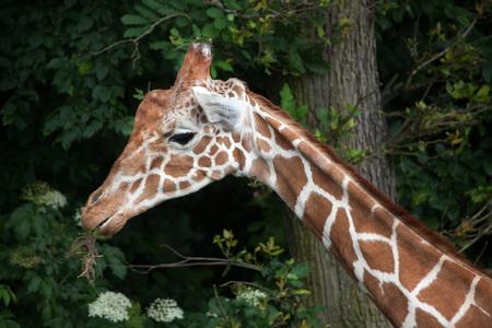 reticulata: Reticulated giraffe (Giraffa camelopardalis reticulata), also known as the Somali giraffe. Stock Photo