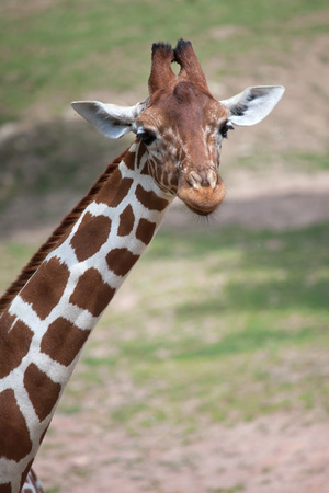 Reticulated giraffe (Giraffa camelopardalis reticulata), also known as the Somali giraffe. Stock Photo
