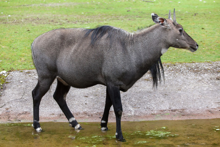 Nilgai (Boselaphus tragocamelus), also known as the nilgau or blue bull. Stock Photo