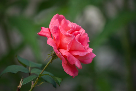Garden red rose (Hulthemia x Rosa). Stock Photo