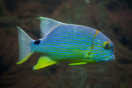 Sailfin snapper (Symphorichthys spilurus), also known as the blue-lined sea bream. Stock Photo