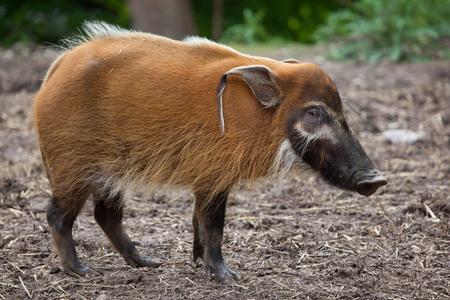 savannas: Red river hog (Potamochoerus porcus), also known as the bush pig.