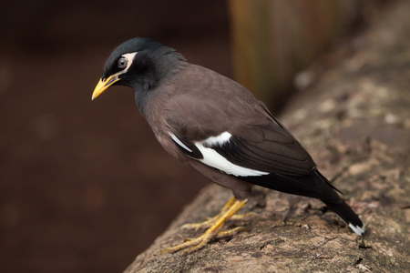 common myna bird: Common myna (Acridotheres tristis), also known as the Indian myna.