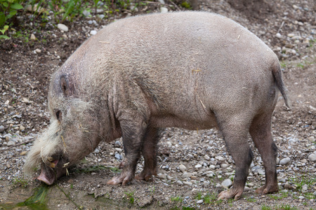 hoofed: Bornean bearded pig (Sus barbatus), also known as the bearded pig. Stock Photo