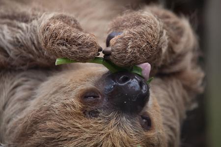 oso perezoso: Linnaeus pereza de dos dedos (Choloepus didactylus), también conocida como la pereza de dos dedos del sur.
