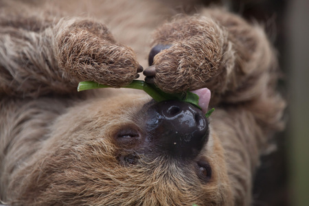 sloth: Linnaeus two-toed sloth (Choloepus didactylus), also known as the southern two-toed sloth. Stock Photo