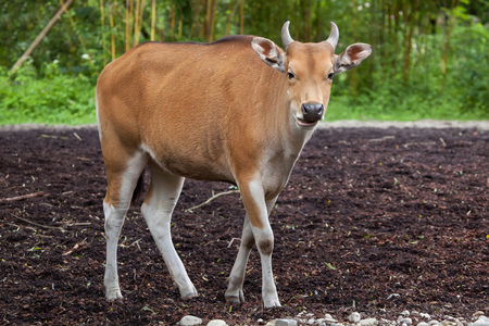 Javan banteng (Bos javanicus), also known as the tembadau.