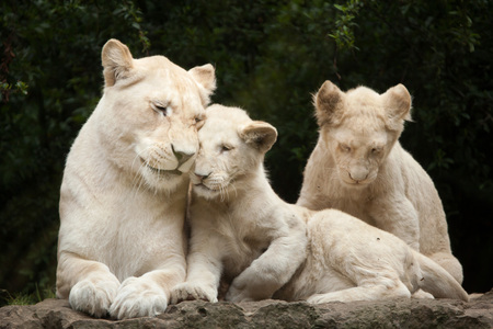 Female white lion with two newborn lion cubs. The white lion is a colour mutation of the Transvaal lion (Panthera leo krugeri), also known as the Southeast African lion or Kalahari lion.