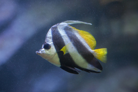 chaetodontidae: Pennant coralfish (Heniochus acuminatus), also known as the reef bannerfish or coachman.