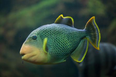 indopacific: Yellowmargin triggerfish (Pseudobalistes flavimarginatus). Marine fish.