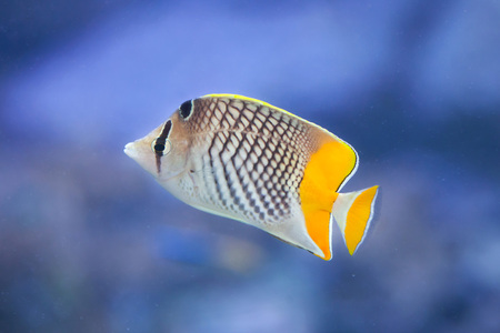indopacific: Pearlscale butterflyfish (Chaetodon xanthurus), also known as the Philippines chevron butterflyfish. Stock Photo