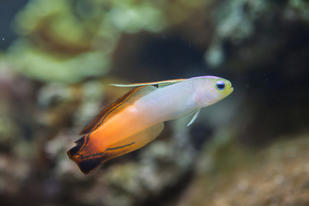 indopacific: Firefish goby (Nemateleotris magnifica), also known as the fire dartfish. Stock Photo