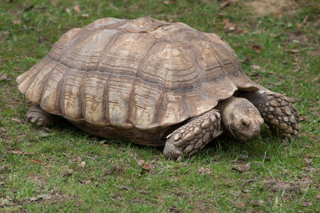 African spurred tortoise (Centrochelys sulcata), also known as the sulcata tortoise. Stock Photo