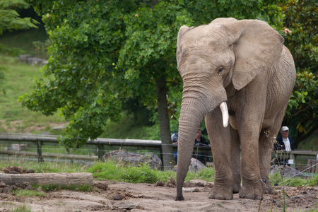 savannas: SAINT-AIGNAN, FRANCE - JUNE 30, 2016: Visitors look at the African bush elephant (Loxodonta africana) at Beauval Zoo in Saint-Aignan sur Cher, France.