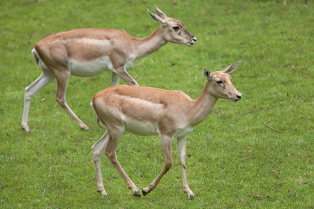 hoofed: Indian blackbuck (Antilope cervicapra). Wildlife animal.