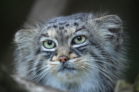 felid: Pallas cat (Otocolobus manul), also known as the manul. Stock Photo