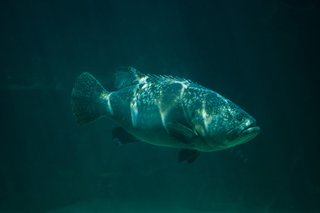 lanceolatus: Giant grouper (Epinephelus lanceolatus), also known as the banded rockcod. Stock Photo
