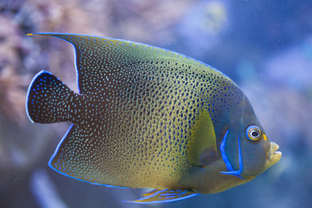 actinopterygii: Semicircle angelfish (Pomacanthus semicirculatus), also known as the Koran angelfish.