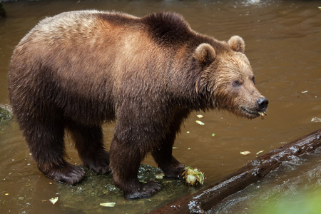 lejano oriente: Kamchatka brown bear (Ursus arctos beringianus), also known as the Far Eastern brown bear.