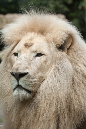 Male white lion. The white lion is a colour mutation of the Transvaal lion (Panthera leo krugeri), also known as the Southeast African lion or Kalahari lion.