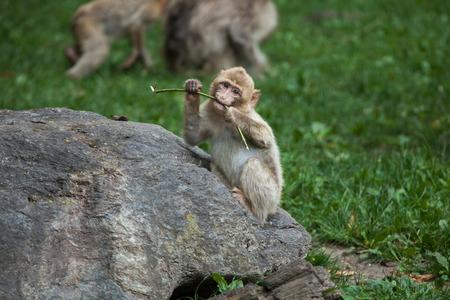 sylvanus: Barbary macaque (Macaca sylvanus), also known as the maggot.