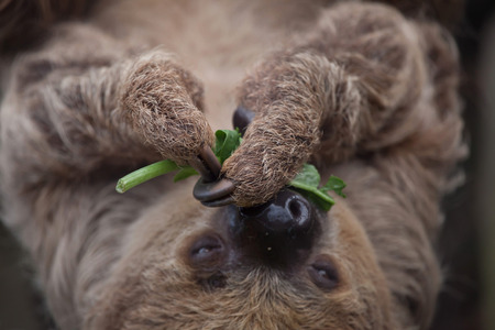 Linnaeus two-toed sloth (Choloepus didactylus), also known as the southern two-toed sloth. 版權商用圖片