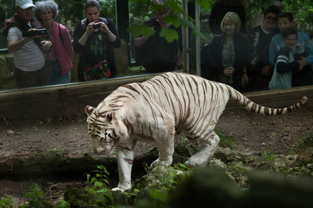 SAINT-AIGNAN, FRANCE - JUNE 30, 2016: Visitors look as the white tiger (Panthera tigris tigris) walking in its enclosure at Beauval Zoo in Saint-Aignan sur Cher, France.