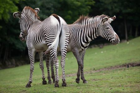 savannas: Grevy zebra (Equus grevyi), also known as the imperial zebra.