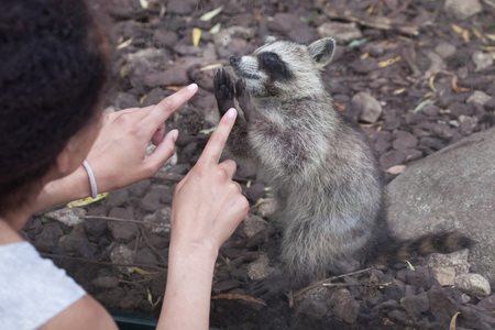 SAINT-AIGNAN, FRANCE - JUNE 30, 2016: Visitor looks the newborn raccoon (Procyon lotor), also known as the North American raccoon at Beauval Zoo in Saint-Aignan sur Cher, France.