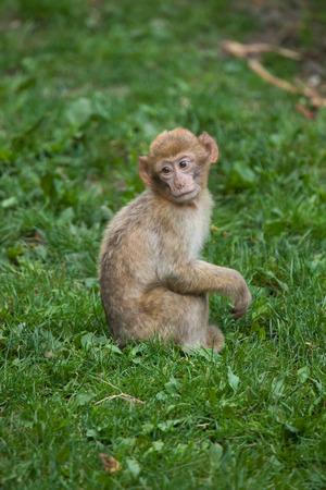 barbary: Barbary macaque (Macaca sylvanus), also known as the maggot.