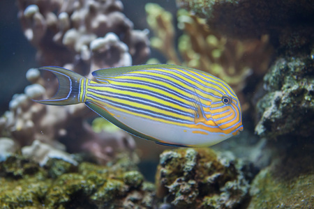 indopacific: Blue banded surgeonfish (Acanthurus lineatus), also known as the zebra surgeonfish.