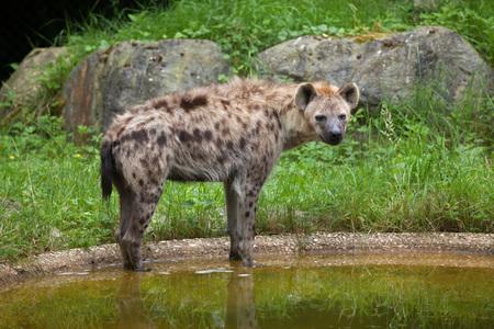 savannas: Spotted hyena (Crocuta crocuta), also known as the laughing hyena.