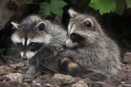 raccoons: Newborn raccoon (Procyon lotor), also known as the North American raccoon.