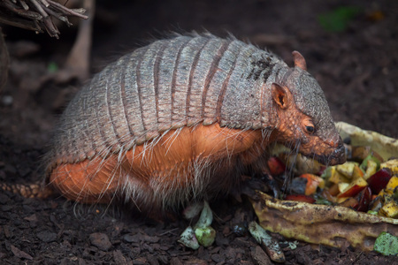 Big hairy armadillo (Chaetophractus villosus), also known as the large hairy armadillo.
