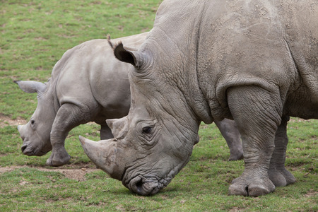 Southern white rhinoceros (Ceratotherium simum simum). Female rhino with its newborn baby.