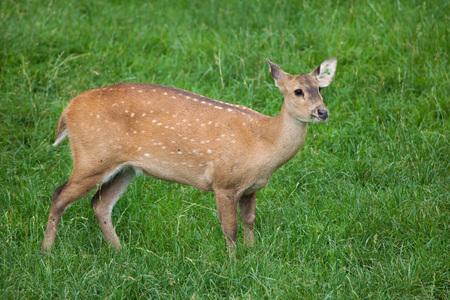 ungulate: Indian hog deer (Hyelaphus porcinus).