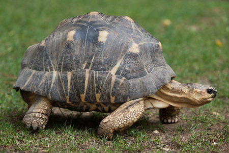 radiated: Radiated tortoise (Astrochelys radiata). Wildlife animal.