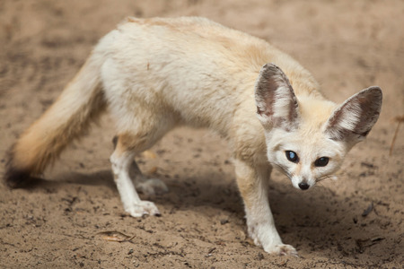 Fennec fox (Vulpes zerda). Wildlife animal. Stock Photo