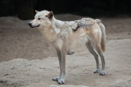 Northwestern wolf (Canis lupus occidentalis), also known as the Mackenzie Valley wolf. Stock Photo