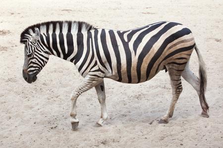 Chapman zebra (Equus quagga chapmani). Stock Photo