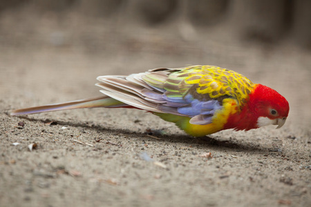 Eastern rosella (Platycercus eximius). Wildlife animal.