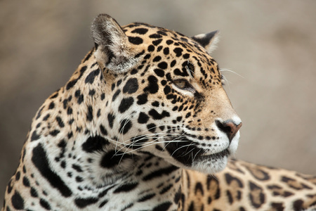 panthera onca: Jaguar (Panthera onca). Wildlife animal.