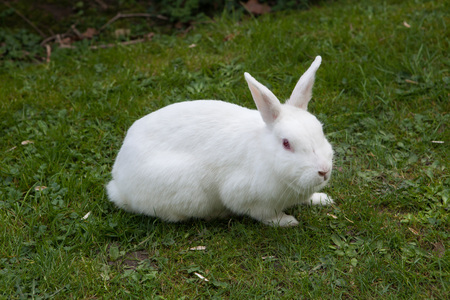 White rabbit. Albino laboratory animal of the domestic rabbit (Oryctolagus cuniculus).