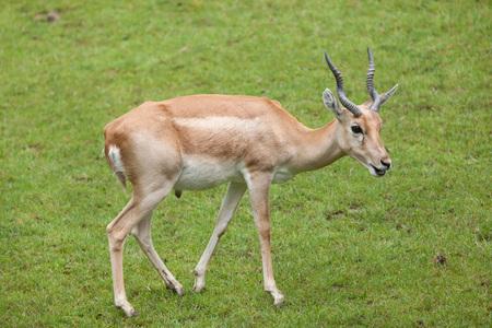 mammalia: Indian blackbuck (Antilope cervicapra). Wildlife animal.