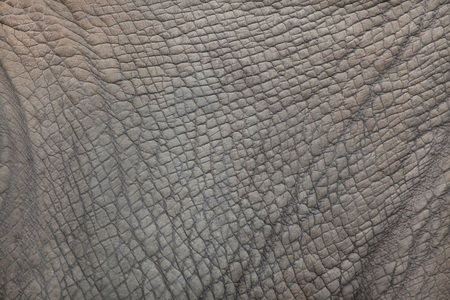 Zuidelijke witte rinoceros (Ceratotherium simum simum). Huid textuur.