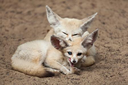 Fennec foxes (Vulpes zerda). Wildlife animal. Stock Photo